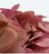 Hortensien bicolor