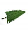 Parchment fern - FPA 0102